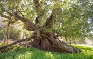 algarobba carob tree El Cautivador